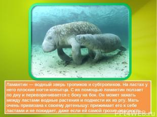 Ламантин — водный зверь тропиков и субтропиков. На ластах у него плоские ногти-к