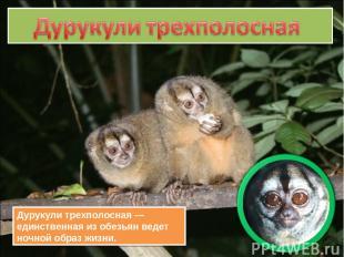 Дурукули трехполосная — единственная из обезьян ведет ночной образ жизни.