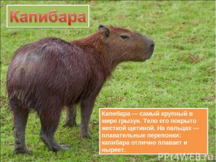 Капибара — самый крупный в мире грызун. Тело его покрыто жесткой щетиной. На пал
