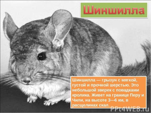 Шиншилла — грызун с мягкой, густой и прочной шерстью. Это небольшой зверек с повадками кролика. Живет на границе Перу и Чили, на высоте 3—6 км, в расщелинах скал.
