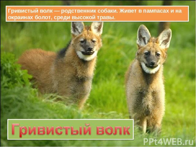 Гривистый волк — родственник собаки. Живет в пампасах и на окраинах болот, среди высокой травы.