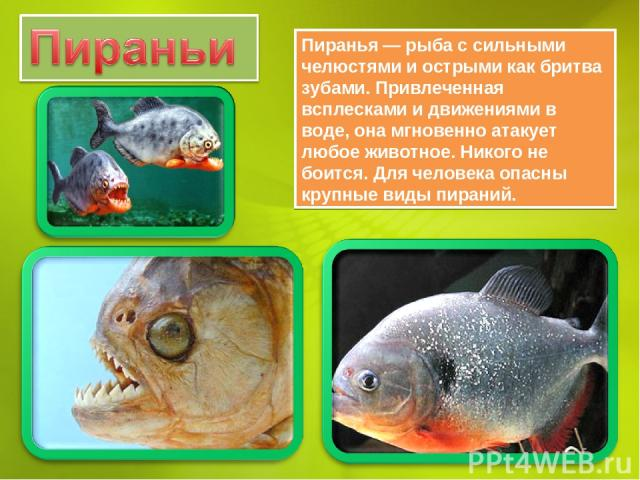 Пиранья — рыба с сильными челюстями и острыми как бритва зубами. Привлеченная всплесками и движениями в воде, она мгновенно атакует любое животное. Никого не боится. Для человека опасны крупные виды пираний.