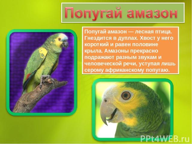 Попугай амазон — лесная птица. Гнездится в дуплах. Хвост у него короткий и равен половине крыла. Амазоны прекрасно подражают разным звукам и человеческой речи, уступая лишь серому африканскому попугаю.