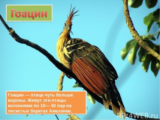 Гоацин — птица чуть больше вороны. Живут эти птицы колониями по 10— 50 пар на лесистых берегах Амазонки.