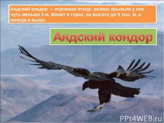 Андский кондор — огромная птица: размах крыльев у нее чуть меньше 3 м. Живет в горах, на высоте до 5 тыс. м, а иногда и выше.