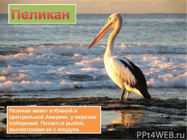 Пеликан живет в Южной и Центральной Америке, у морских побережий. Питается рыбой, высматривая ее с воздуха.