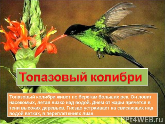 Топазовый колибри живет по берегам больших рек. Он ловит насекомых, летая низко над водой. Днем от жары прячется в тени высоких деревьев. Гнездо устраивает на свисающих над водой ветках, в переплетениях лиан.