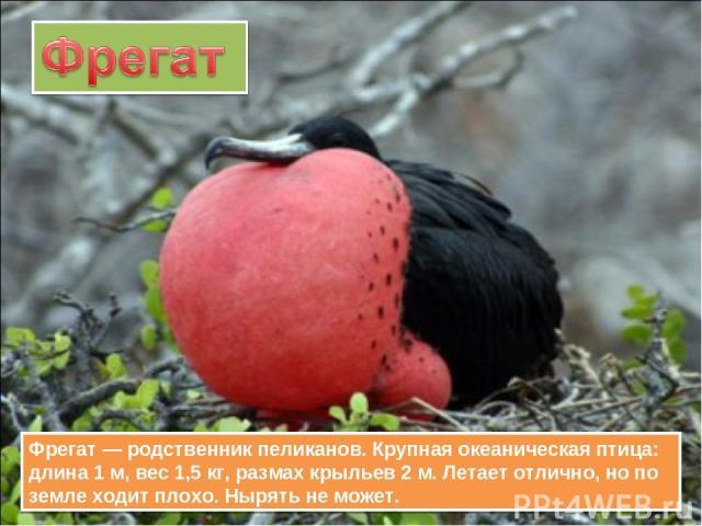 Фрегат — родственник пеликанов. Крупная океаническая птица: длина 1 м, вес 1,5 кг, размах крыльев 2 м. Летает отлично, но по земле ходит плохо. Нырять не может.