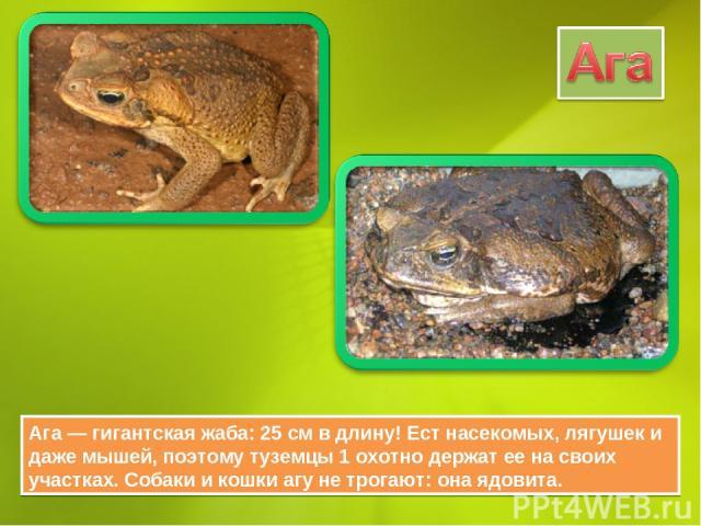 Ага — гигантская жаба: 25 см в длину! Ест насекомых, лягушек и даже мышей, поэтому туземцы 1 охотно держат ее на своих участках. Собаки и кошки агу не трогают: она ядовита.