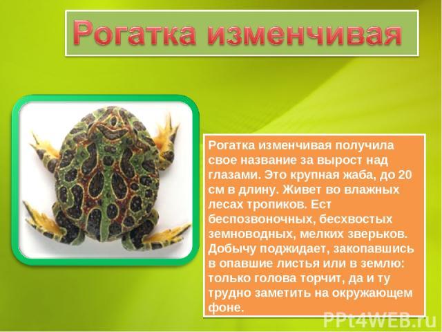Рогатка изменчивая получила свое название за вырост над глазами. Это крупная жаба, до 20 см в длину. Живет во влажных лесах тропиков. Ест беспозвоночных, бесхвостых земноводных, мелких зверьков. Добычу поджидает, закопавшись в опавшие листья или в з…