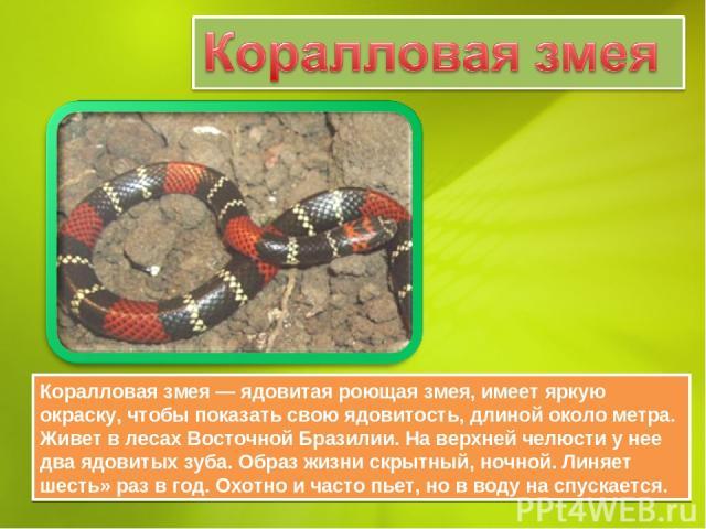 Коралловая змея — ядовитая роющая змея, имеет яркую окраску, чтобы показать свою ядовитость, длиной около метра. Живет в лесах Восточной Бразилии. На верхней челюсти у нее два ядовитых зуба. Образ жизни скрытный, ночной. Линяет шесть» раз в год. Охо…