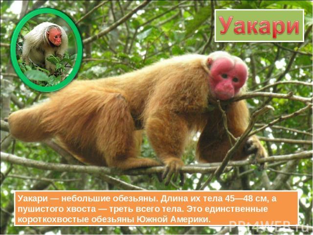 Уакари — небольшие обезьяны. Длина их тела 45—48 см, а пушистого хвоста — треть всего тела. Это единственные короткохвостые обезьяны Южной Америки.