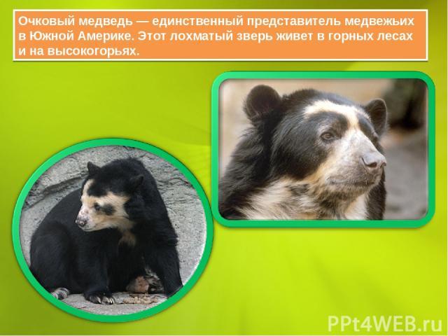 Очковый медведь — единственный представитель медвежьих в Южной Америке. Этот лохматый зверь живет в горных лесах и на высокогорьях.