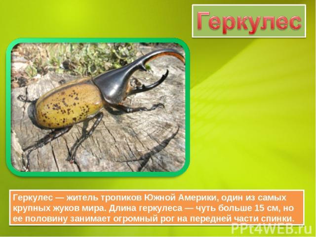 Геркулес — житель тропиков Южной Америки, один из самых крупных жуков мира. Длина геркулеса — чуть больше 15 см, но ее половину занимает огромный рог на передней части спинки.
