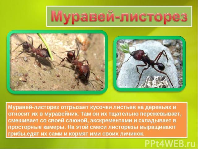 Муравей-листорез отгрызает кусочки листьев на деревьях и относит их в муравейник. Там он их тщательно пережевывает, смешивает со своей слюной, экскрементами и складывает в просторные камеры. На этой смеси листорезы выращивают грибы,едят их сами и ко…