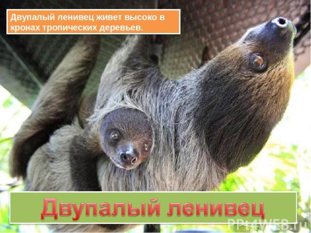 Двупалый ленивец живет высоко в кронах тропических деревьев.
