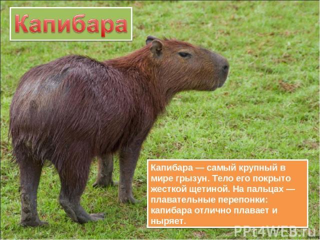 Капибара — самый крупный в мире грызун. Тело его покрыто жесткой щетиной. На пальцах — плавательные перепонки: капибара отлично плавает и ныряет.