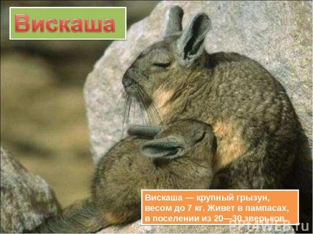 Вискаша — крупный грызун, весом до 7 кг. Живет в пампасах, в поселении из 20—30 зверьков.