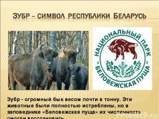 Зубр - огромный бык весом почти в тонну. Эти животные были полностью истреблены,