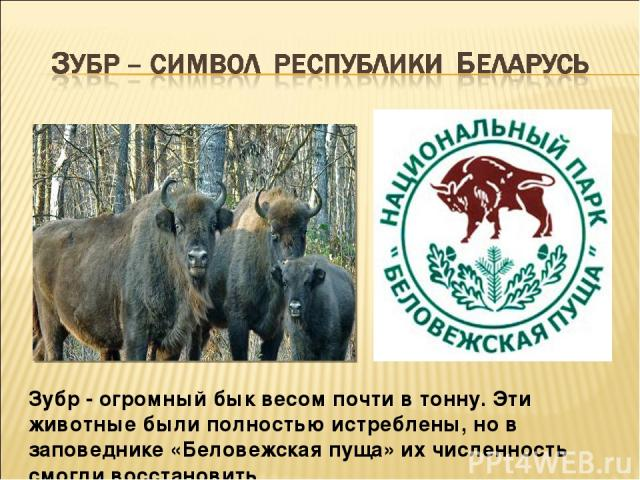 Зубр - огромный бык весом почти в тонну. Эти животные были полностью истреблены, но в заповеднике «Беловежская пуща» их численность смогли восстановить.