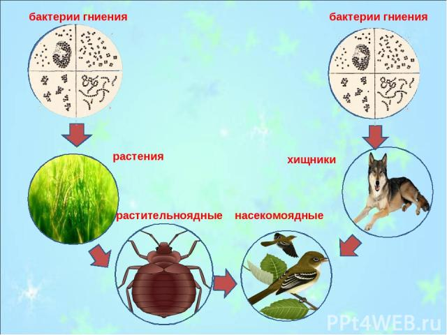 бактерии гниения бактерии гниения растения насекомоядные растительноядные хищники