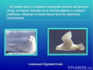 Из животных в глубине материка можно встретить птиц, которые гнездятся в летнее