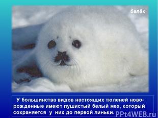 белёк У большинства видов настоящих тюленей ново-рожденные имеют пушистый белый