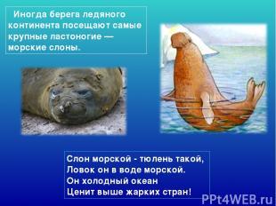Слон морской - тюлень такой, Ловок он в воде морской. Он холодный океан Ценит
