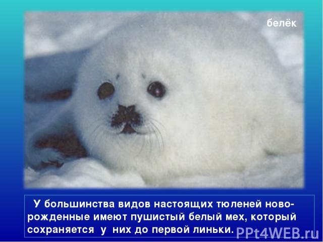 белёк У большинства видов настоящих тюленей ново-рожденные имеют пушистый белый мех, который сохраняется у них до первой линьки.