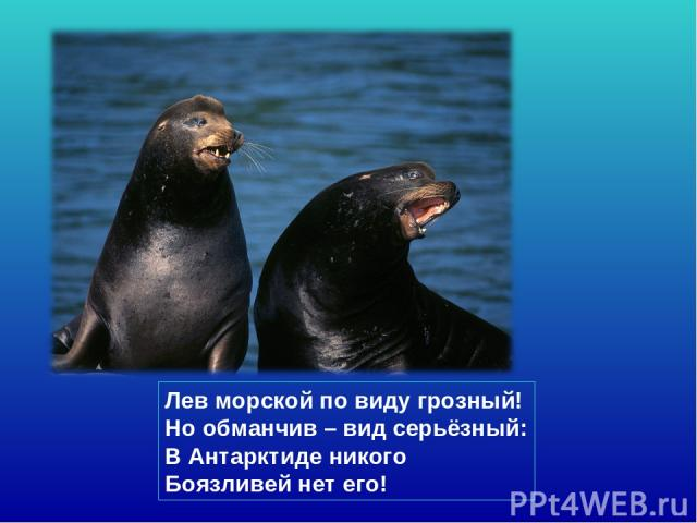 Лев морской по виду грозный! Но обманчив – вид серьёзный: В Антарктиде никого Боязливей нет его!