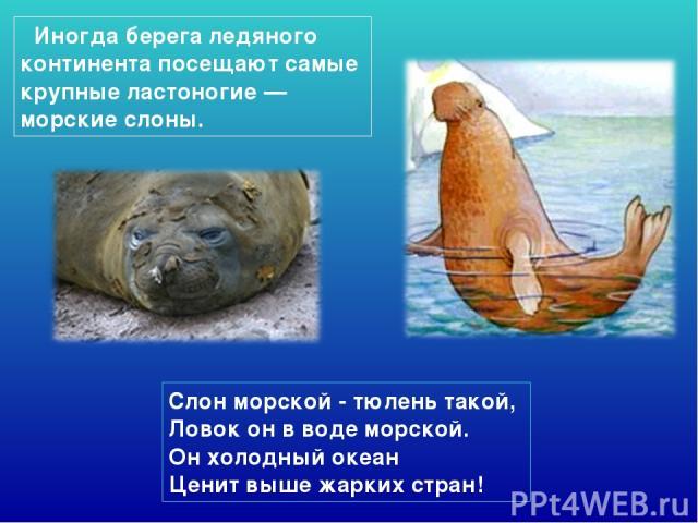 Слон морской - тюлень такой, Ловок он в воде морской. Он холодный океан Ценит выше жарких стран! Иногда берега ледяного континента посещают самые крупные ластоногие — морские слоны.