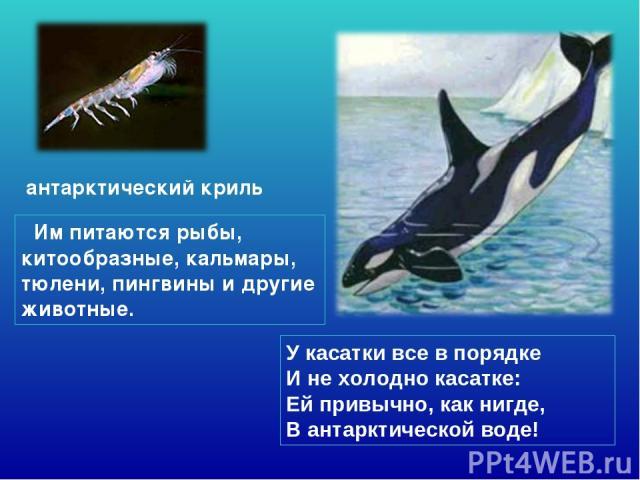 У касатки все в порядке И не холодно касатке: Ей привычно, как нигде, В антарктической воде! антарктический криль Им питаются рыбы, китообразные, кальмары, тюлени, пингвины и другие животные.