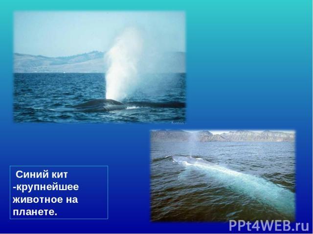 Синий кит -крупнейшее животное на планете.