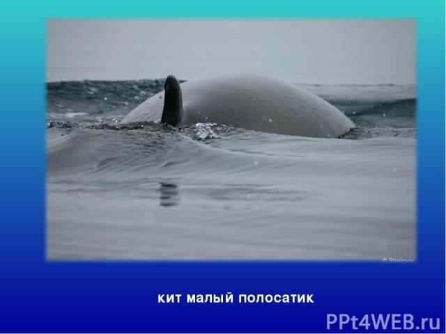 кит малый полосатик