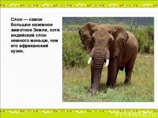 Слон — самое большое наземное животное Земли, хотя индийский слон немного меньше