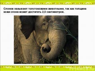 Слонов называют толстокожими животными, так как толщина кожи слона может достига