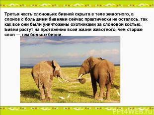 Третья часть слоновьих бивней скрыта в теле животного, а слонов с большими бивня