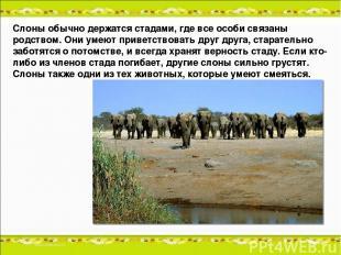Слоны обычно держатся стадами, где все особи связаны родством. Они умеют приветс