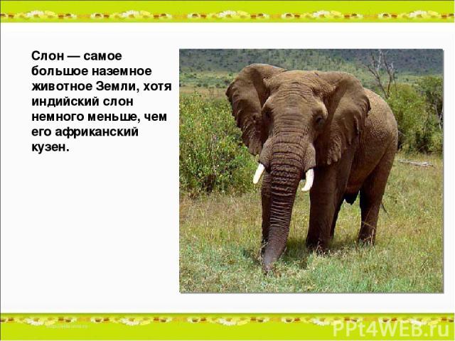 Слон — самое большое наземное животное Земли, хотя индийский слон немного меньше, чем его африканский кузен.