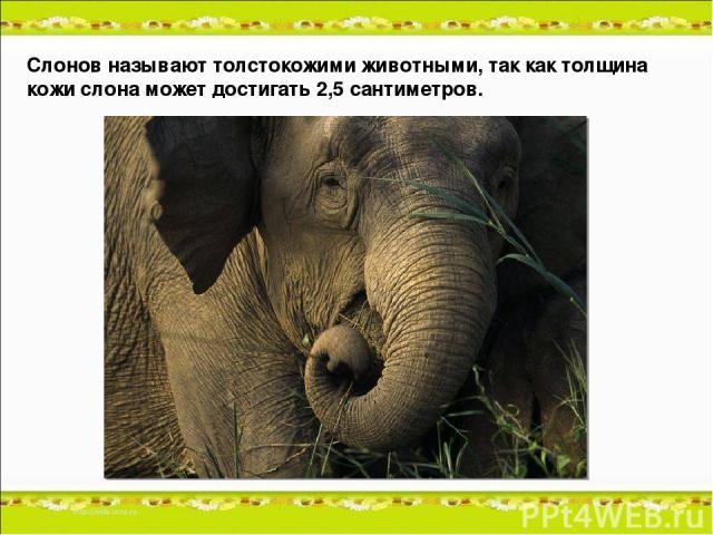 Слонов называют толстокожими животными, так как толщина кожи слона может достигать 2,5 сантиметров.