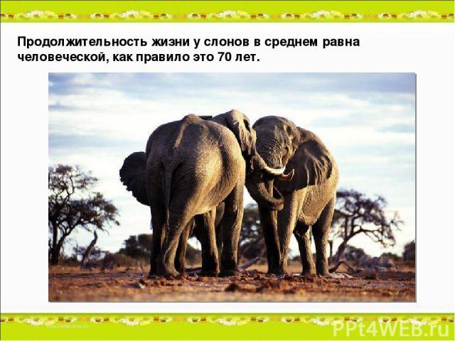 Продолжительность жизни у слонов в среднем равна человеческой, как правило это 70 лет.