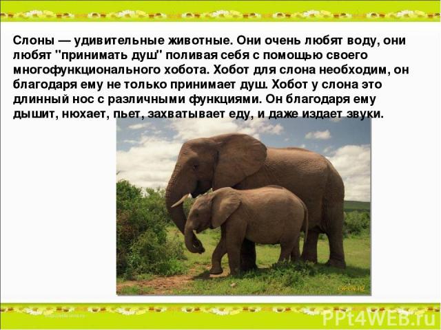 Слоны — удивительные животные. Они очень любят воду, они любят