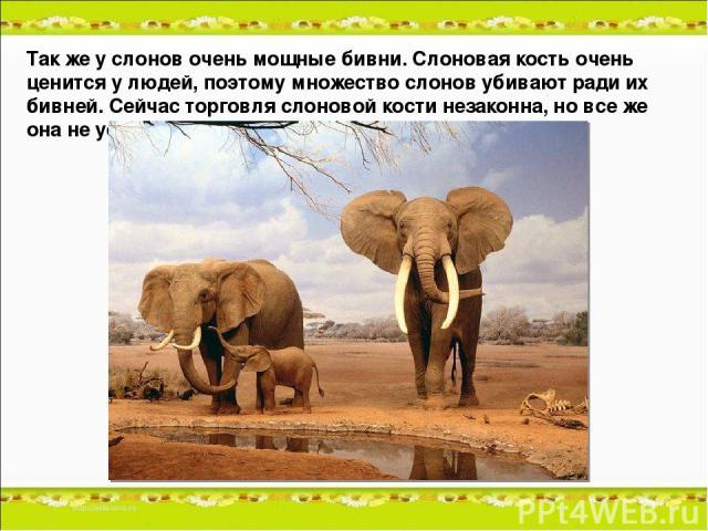 Так же у слонов очень мощные бивни. Слоновая кость очень ценится у людей, поэтому множество слонов убивают ради их бивней. Сейчас торговля слоновой кости незаконна, но все же она не устранена полностью.