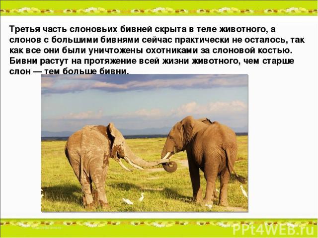 Третья часть слоновьих бивней скрыта в теле животного, а слонов с большими бивнями сейчас практически не осталось, так как все они были уничтожены охотниками за слоновой костью. Бивни растут на протяжение всей жизни животного, чем старше слон — тем …