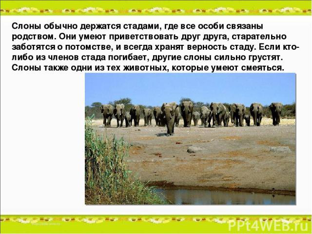 Слоны обычно держатся стадами, где все особи связаны родством. Они умеют приветствовать друг друга, старательно заботятся о потомстве, и всегда хранят верность стаду. Если кто-либо из членов стада погибает, другие слоны сильно грустят. Слоны также о…