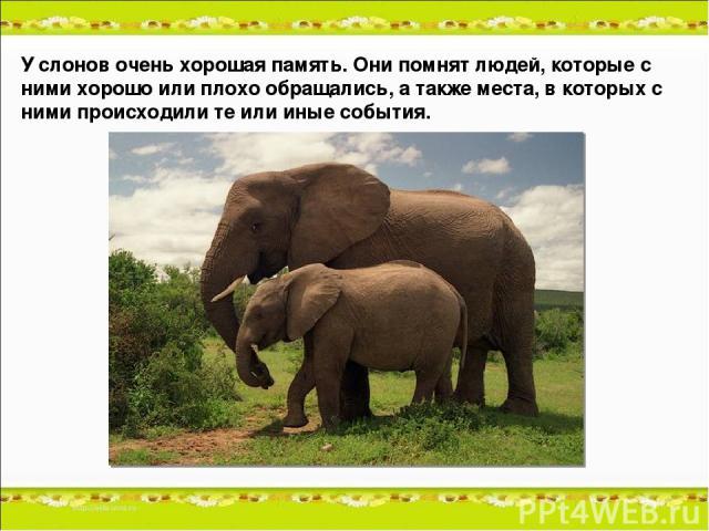 У слонов очень хорошая память. Они помнят людей, которые с ними хорошо или плохо обращались, а также места, в которых с ними происходили те или иные события.