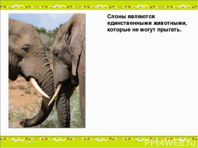 Слоны являются единственными животными, которые не могут прыгать.