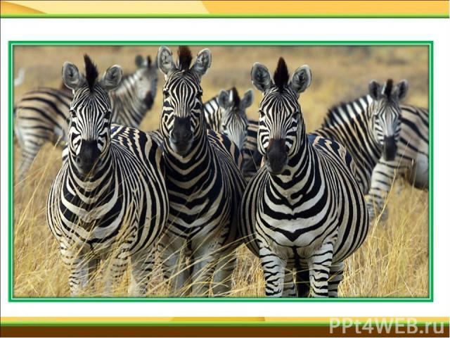 В Африке только живет, Травку кушает, из водоема пьет. И льва, и тигра так боится, От них не убежит, не защититься. В полоску выкрашена шерсть, Узнает каждый ее здесь. Мы поскорее называем, И зверя доброго мы отгадаем.