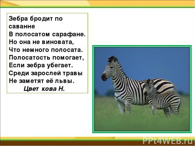 Зебра бродит по саванне В полосатом сарафане. Но она не виновата, Что немного полосата. Полосатость помогает, Если зебра убегает. Среди зарослей травы Не заметят её львы. Цветкова Н.