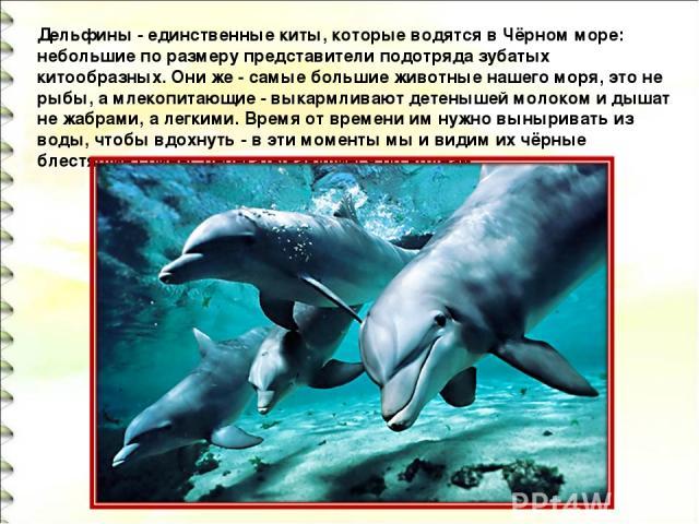 Дельфины - единственные киты, которые водятся в Чёрном море: небольшие по размеру представители подотряда зубатых китообразных. Они же - самые большие животные нашего моря, это не рыбы, а млекопитающие - выкармливают детенышей молоком и дышат не жаб…